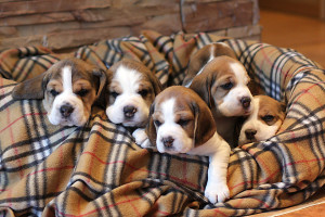 Bathoff beagle puppies